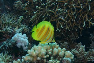 A butterflyfish, Chaetodon rainfordi, feeding on coral polyps. Coral reefs are both a museum and a cradle for reef fishes. Association with coral reefs has provided fishes with both a stimulus for diversification, and a potential refuge in a time of high extinction. Photos courtesy of Joao Paulo Krajewski.