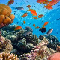 Effects of chronic fish predation on reef building corals