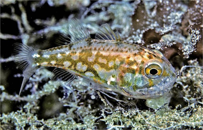 A male cardinalfish Siphamia argentea carries its young in the mouth. Photo: Rudie Kuiter.