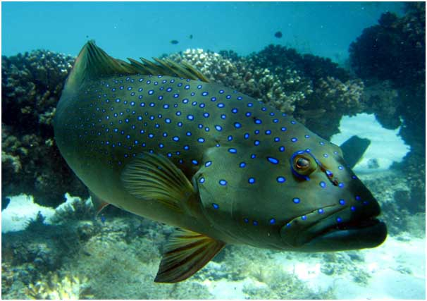 Coral trout, Plectropomus maculatus, in the Great Barrier Reef, is the focus of a study by Harrison and co-authors in this week's issue of Current Biology. The authors found that populations of coral trout and stripey snapper in no-take marine reserves of the Keppel islands generated of the baby fish both inside and outside of reserves. Image: Phil Woodhead - Wet Image Underwater Photography.