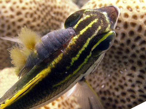 Anilocra and algae attached to bream.