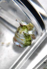 This is a Great Barrier Reef humpbacked conch snail inside a respirometer, where oxygen consumption is measured. Credits: Sue-Ann Watson