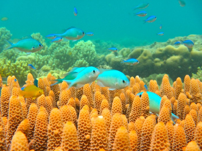 Chromis fish swim amongst coral in the Indo-Pacific, along with a Pomacentrus moluccensis (the lemon damsel). These fish are important food sources for larger coral reef fish. Image credit: D. Dixson
