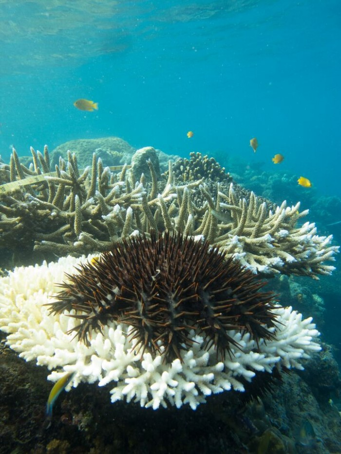 The highly destructive Crown of Thorns starfish devouring coral. Image: LIsa Bostrom-Einarsson
