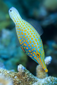 The harlequin filefish can disguise its smell.  Image: Tane Sinclair-Taylor