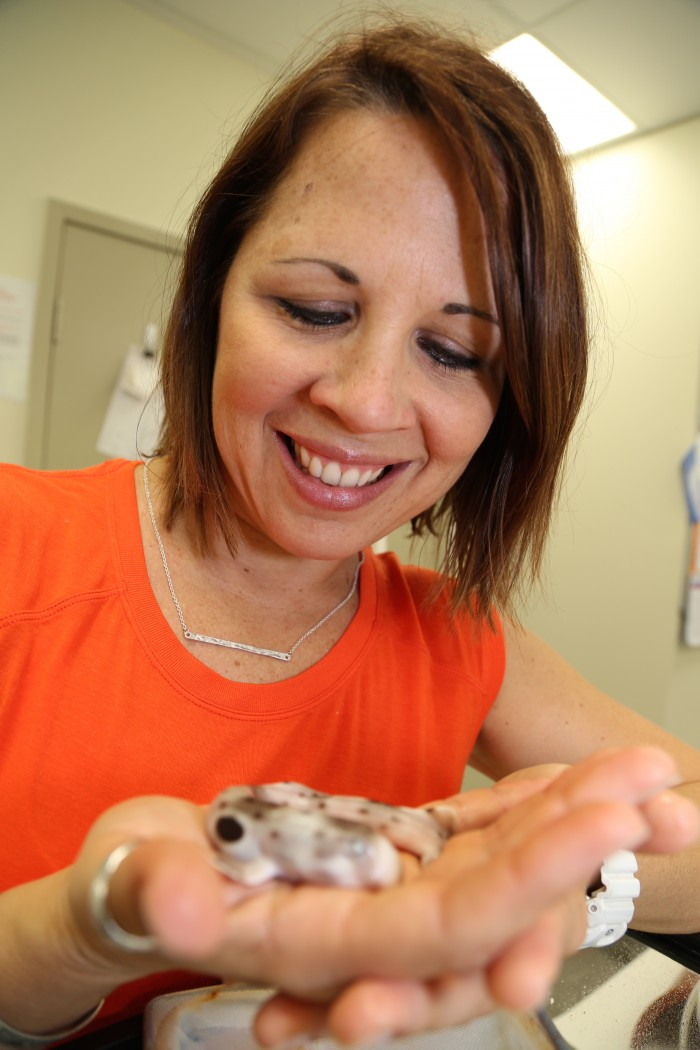Jodie Rummer's research includes working with epaulette sharks. Photo: JCU Media