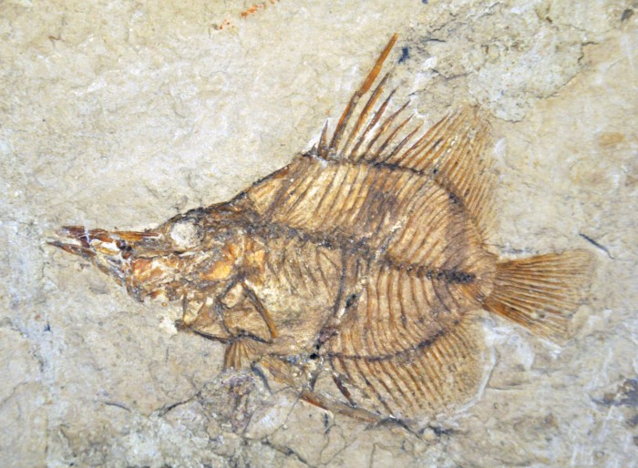 The fossilised remains of Massalongius, a fish which could protrude its jaws and feed on elusive prey almost 50 million years ago. Photo: copyright David Bellwood with permission from the Museo Civico di Storia Naturale di Verona.