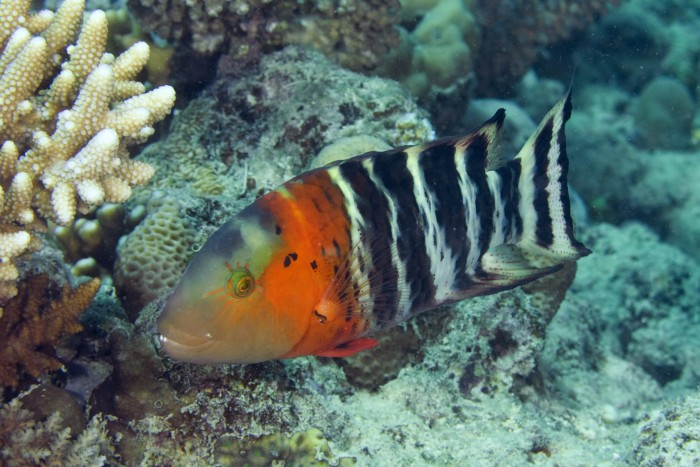 In terms of evolutionary history, less than a quarter of wrasse species receive minimum protection levels. Image: João Paulo Krajewski