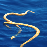 Scientists discover rare sea snakes, previously thought extinct, off Western Australia