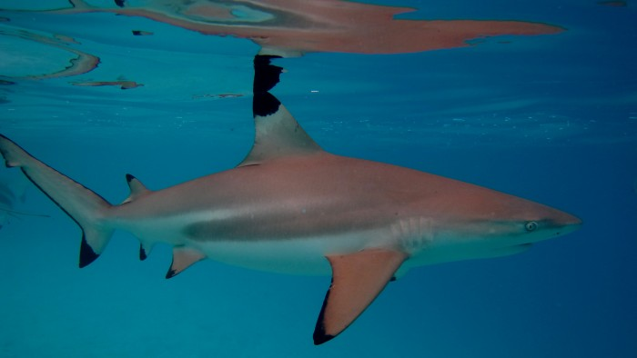 Reef sharks, like this black-tip shark, typically eat small fishes, molluscs and crustaceans. Black-tip sharks, in turn, are eaten by larger sharks such as tiger and hammerhead sharks. Photo by Simon Gingins.
