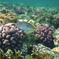 The coral reefs of the Pacific: current patterns, recent trends, future trajectories