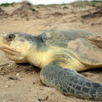 Winners are grinners: a collection of sea turtle tales