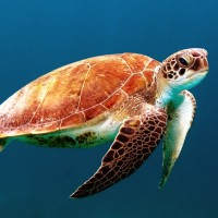 Vulnerability of sea turtles to climate change
