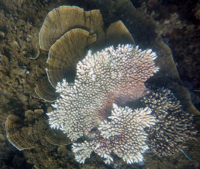 Bleached Acropora plate coral, next to unbleached Montipora coral. Picture taken at Cleveland Bay. Credit: Andrew Baird