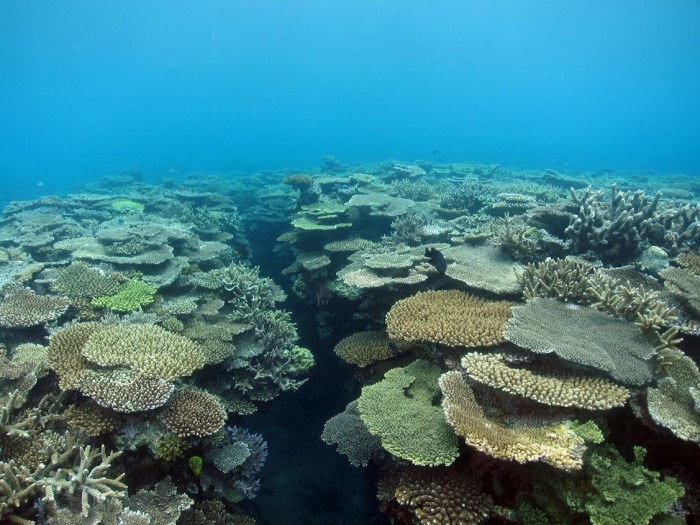 Coral reefs with abundant Acropora communities, in Amami, Japan, on 6 July 2015. Photo by Brigitte Sommer for ARC Centre of Excellence for Coral Reef Studies.