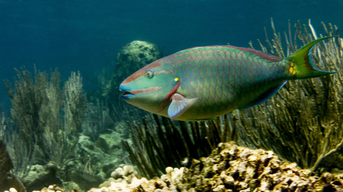 The stoplight parrotfish, Sparisoma viride; one of the most popular fisheries species but also one of most ecologically-important fish on Caribbean reefs. Credit: Peter Mumby.