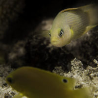 Smelly bleached coral stops reef fish from sensing enemy