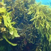 Canopy-forming macroalgae on coral reefs: implications for associated organisms