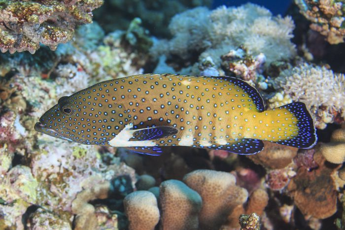 Fish similar to this peacock grouper, which have relatively small home ranges, will be well protected within the new Palikir Pass MPA. Credit: Tane Sinclair-Taylor