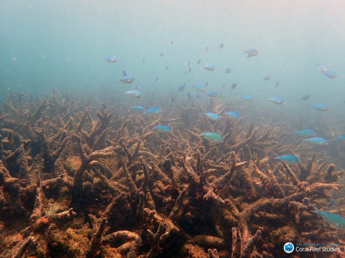 Staghorn corals killed by bleaching on the northern Great Barrier Reef