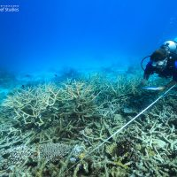 Scientists mobilise as bleaching resumes on Great Barrier Reef