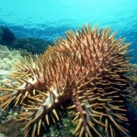 Predation on the early life stages of the crown-of-thorns starfish (Acanthaster spp.)