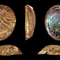 Stress transcriptomics: understanding the genetic basis of summer mortality in abalone