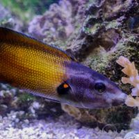 Lubricated fish lips help wrasses vacuum coral goodies