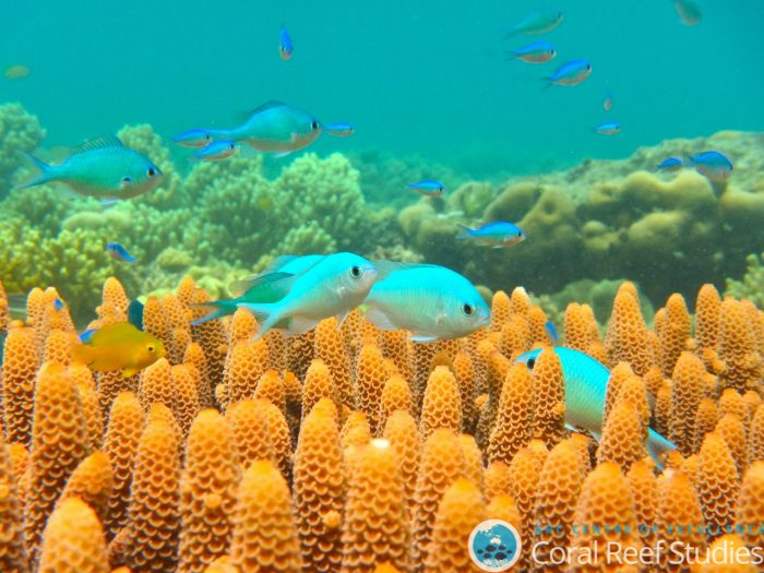Blue-green chromis at Lizard Island. Image courtesy of Jodie Rummer