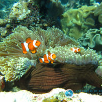 New research delivers hope for reef fish living in a high CO2 world