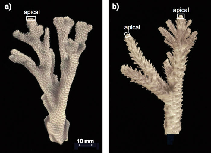 X-ray, CT scan imaging of coral skeleton growth. Image: Claire Ross