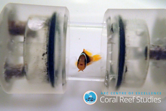 Four-week-old anemonefish (Amphiprion melanopus) sitting in a test chamber while its oxygen uptake is being recorded. Fish raised in suspended sediments struggled to take up sufficient oxygen during an exhaustive physical test, which is an indication that these fish may also struggle with activities important for their survival on the reef, such as swimming or escaping from predators. Credit: Hess et al. 2017