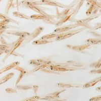 Understanding larval fish ecophysiology supports management and conservation of marine fishes