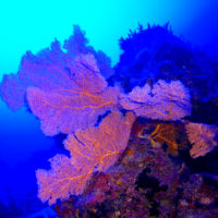 Mesophotic gorgonian corals: case study in Micronesia