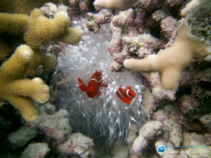 Clown fish at Lizard Island during the 2016 coral bleaching event on the Great Barrier Reef. Credit: ARC CoE for Coral Reef Studies/ Laura Richardson