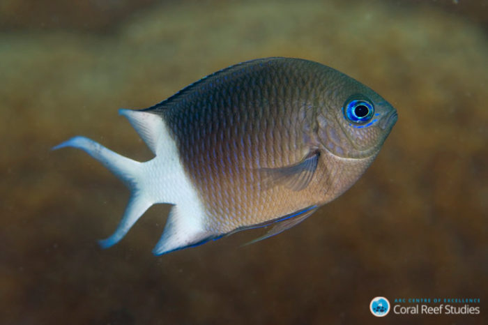 Researchers found that baby spiny chromis (Acanthochromis polyacanthus) were better able to tolerate warmer water when their parents were exposed to elevated water temperatures. Credit: Joao Krajewski