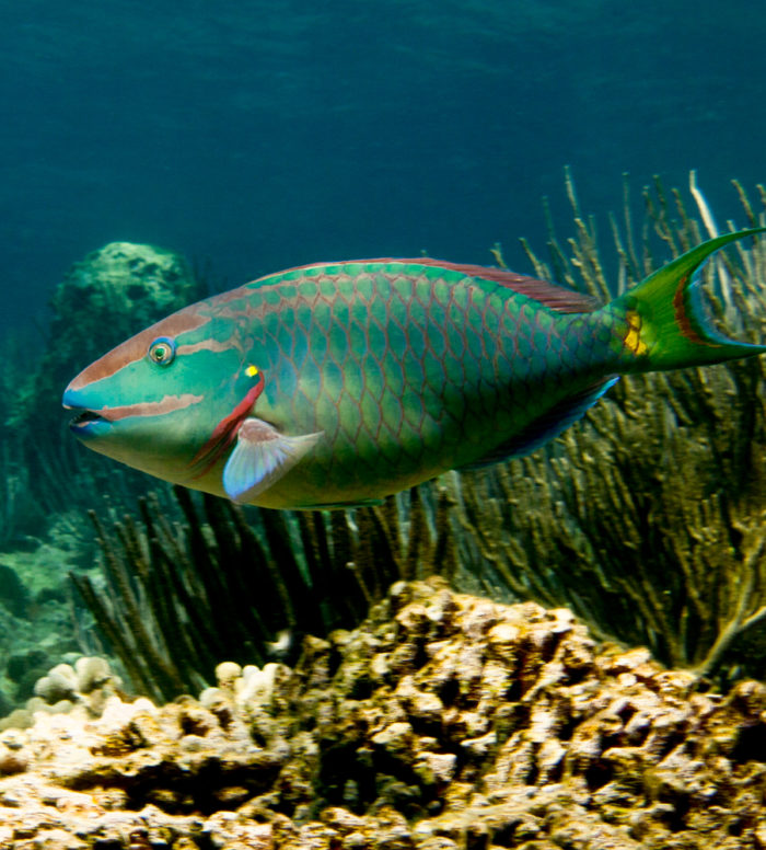 The stoplight parrotfish (Sparisoma viride) is one of the most important consumers of seaweed on coral reefs. This is a terminal phase male, observed at St. Croix, U.S. Virgin Islands. Credit: Peter Mumby