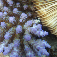 Understanding coral calcification with Raman spectroscopy