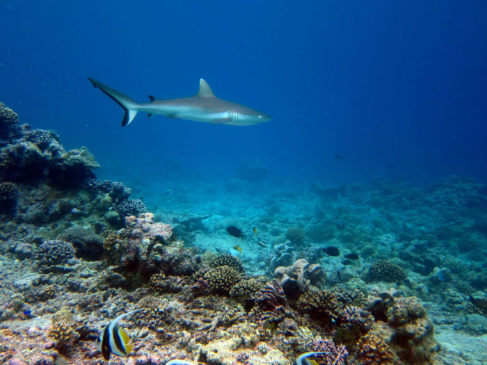 A grey reef shark swims over a reef in a large protected area far from humans.  Photo credit:  Nick  Graham