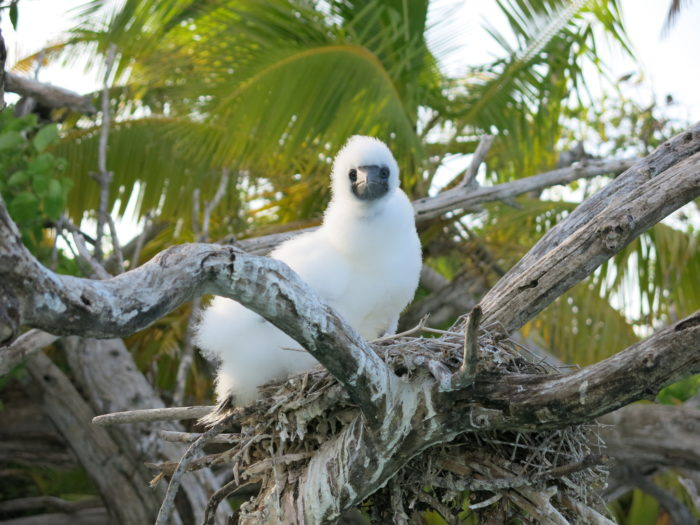 A booby chick on the nest, above a coral reef lagoon. Photo credit: Nick Graham