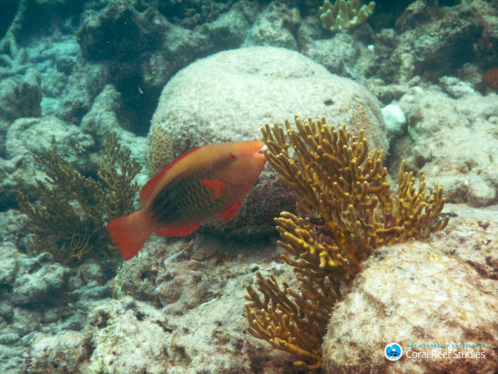 New research suggests that the fastest rates of species formation have occurred at the highest latitudes and in the coldest ocean waters, rather than warm reef environments, as previously thought. A Bridled parrotfish (Scarus frenatus), Lizard Island, Australia. Credit: ARC CoE for Coral Reef Studies/ Robert Streit