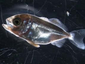 Study finds warmer water affects the development of young fish more than acidification