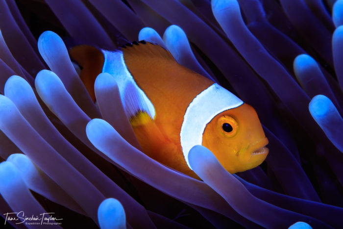 The orange clownfish (Amphiprion percula) is one of the most important species for studying the ecology and evolution of coral reef fishes. Credit: Tane Sinclair-Taylor