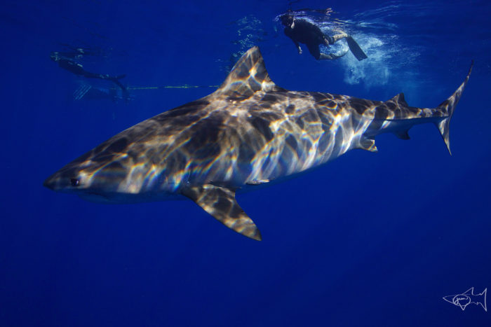 Shark ecotourism offers a way to counteract misconceptions and build support for shark conservation. Credit: Juan Oliphant