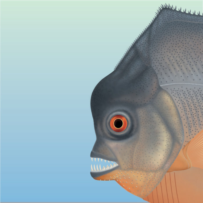 With sharp pointed teeth, the new piranha-like fish from Jurassic seas probably fed on the fins of other fishes. From the time of dinosaurs and from the same deposits that contained the first feathered proto-bird Archaeopteryx scientists recovered both this flesh-tearing fish and its scarred prey. Fishes with parts of fins missing point to the exploitation of a widespread and renewable resource.  Credit: G. Horsitzky (Jura-Museum Eichstätt, Germany)