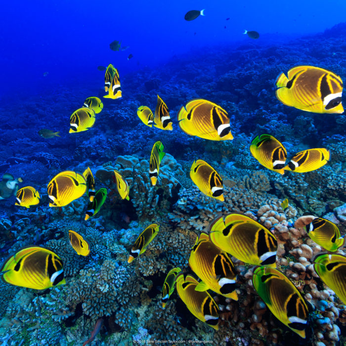 A small school of raccoon butterflyfish (Chaetodon lunula), so named for the black and white bands over the face and eyes resembling a
