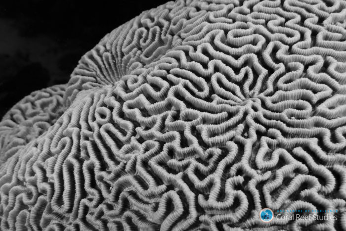 Brain coral (Leptoria). Credit: Christopher Brunner