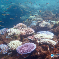 """Robust"" corals primed to resist coral bleaching"