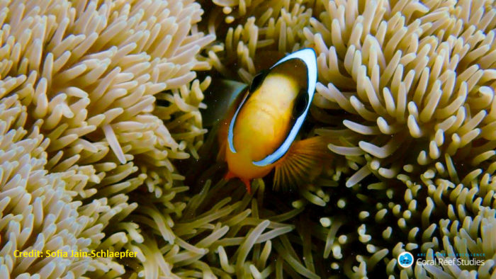 Anemonefish. Credit: ARC CoE for Coral Reef Studies/ Sofia Jain Schlaepfer ‎