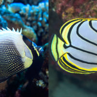 Mystery of colour patterns of reef fish solved!
